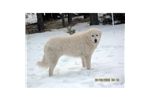 Picture of Hungarian Kuvasz Puppy