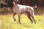 Featured Breeder of German Shorthaired Pointers with Puppies For Sale