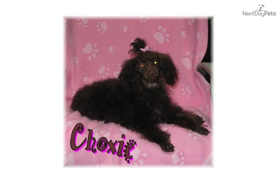 Choxie Dog Breed
