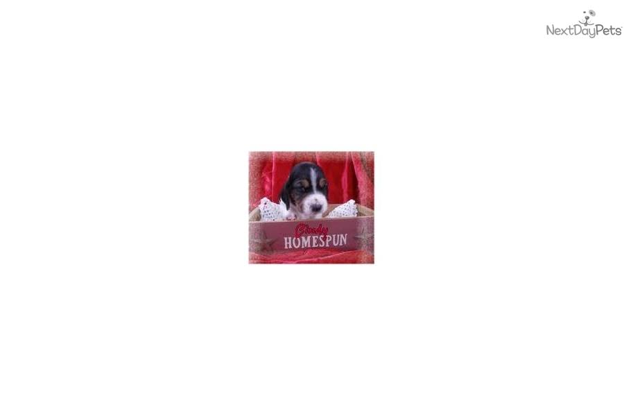 - cindy-bassett-hound-female-akc-or-ckcregdog-basset-hound-puppy-733392b4-34dd-4821-a240-0d1d36ba192d