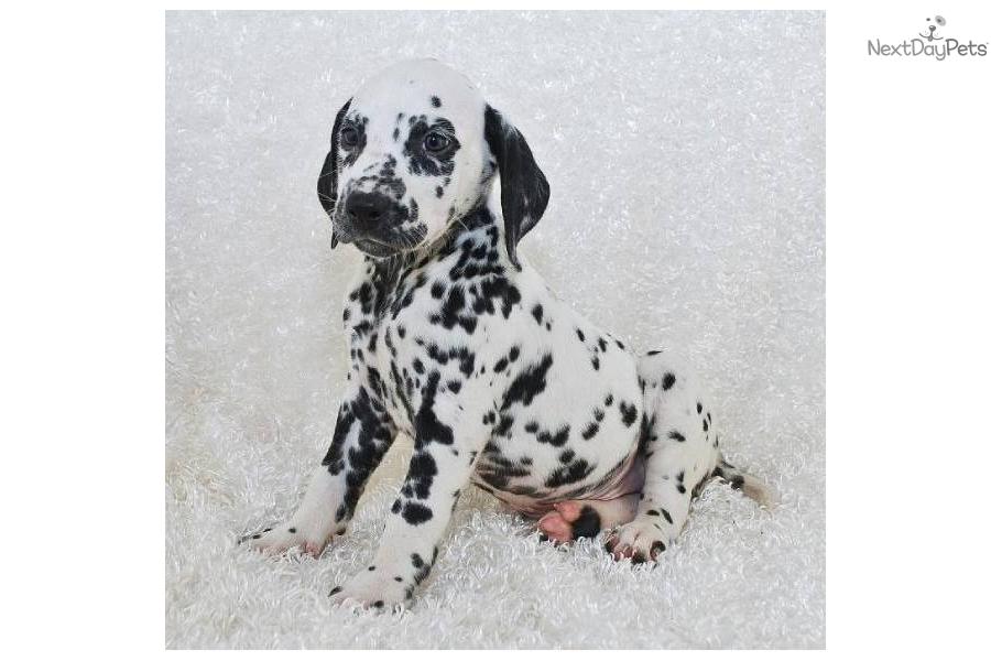 Meet Domino Dalmatian a cute Dalmatian puppy for sale for $900. Domino ...