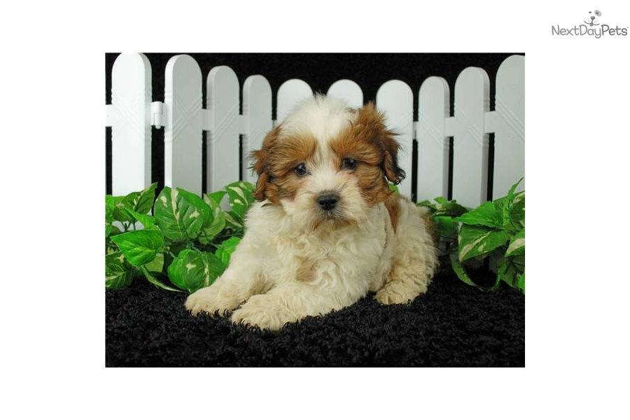 Cockapoo puppies for sale - Cockapoo breeders