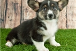 Picture of Nila Female Welsh Corgi