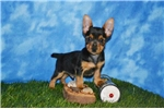 Picture of Triton Male Toy Fox Terrier
