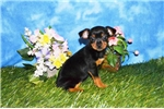 Picture of Trinah Female Toy Fox Terrier
