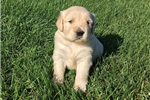 Picture of Diesel Male AKC Golden Retriever Championship BL
