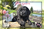 Biewer Terrier for sale