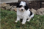 Picture of Connie Female Lhasa Poo