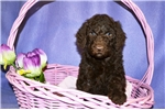 Picture of April Standard Poodle Female