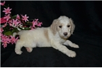 Picture of Angel Standard Poodle Female