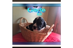Picture of Gage saint Bernadoodle