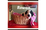 Picture of rowan saint bernadoodle