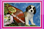 Picture of rosie female st bernard