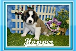 Picture of hopper st bernard