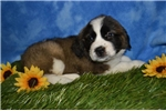 Picture of Sunflower Saint Bernard female