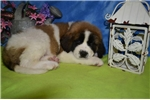 Picture of Brutus St. Bernard male