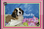 Picture of Sweet Pea St bernard female