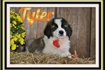 Picture of Tyler Male Saint Bernard