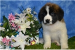 Picture of Bosco st. bernard male