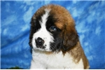 Picture of hunter st bernard male