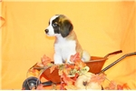 Picture of Brutus Male St. Bernard