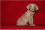 Picture of Beth female Silber Weimaraner