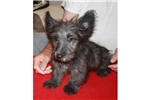 Picture of a Skye Terrier Puppy