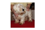 Picture of a Sealyham Terrier Puppy
