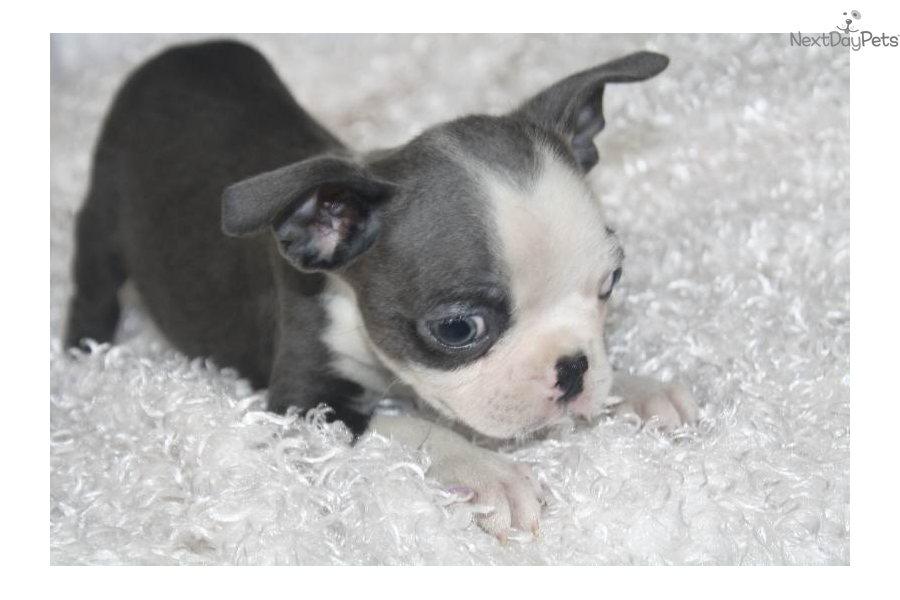 Boston Terrier Puppy For Sale Near Springfield Missouri 241f9e56 D3f1