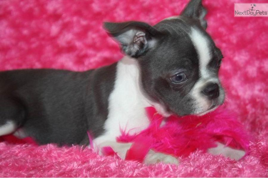 Meet Blue Belle A Cute Boston Terrier Puppy For Sale For