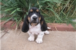 Picture of AKC Male Basset Hound, Champion lines