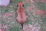 Picture of AKC champion lines, extremely nice Ridgebacks