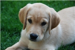 NW Best Goldadors, Outstanding pups | Puppy at 2 weeks of age for sale