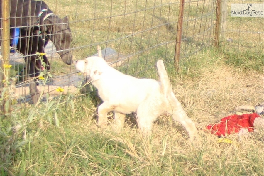 Livestock Guard Dogs For Sale In Texas