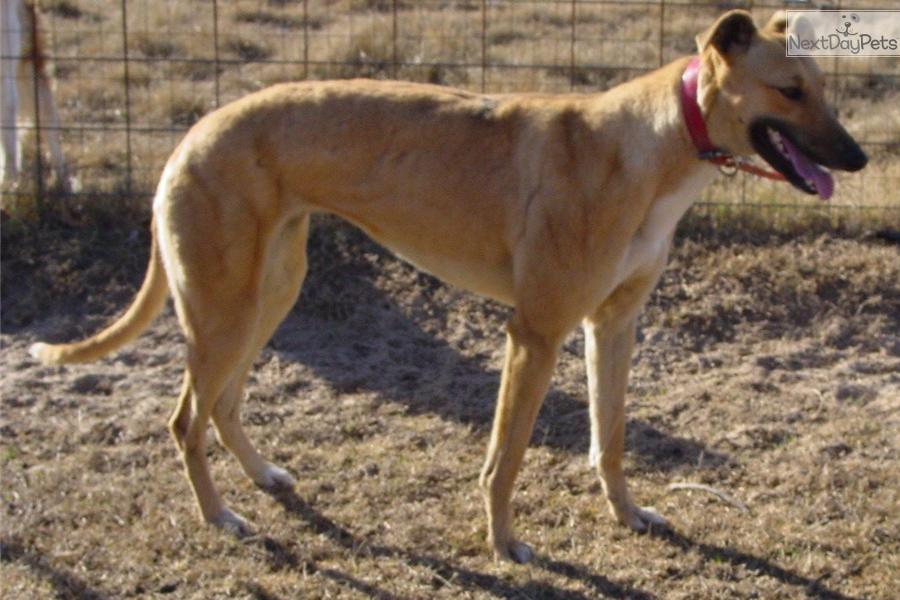 Greyhound puppy for adoption near san antonio texas 188c5ba4 6b62