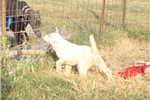 Picture of Anatolian x Great Pyrenees Livestock Guard Dog pup