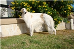 Borzoi for sale