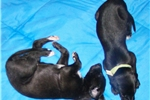 Picture of Greyhound Black puppy girl