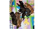 Picture of Red Greyhound Puppy boy