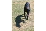 Picture of Greyhound Black puppy girl orange collar