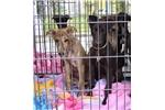 Picture of Greyhound Black puppy boy