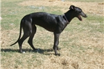 Picture of Greyhound Girl Stripes