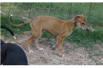 Greyhound for sale