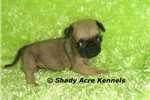Picture of AKC Tanner-GA- We offer delivery