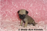 Picture of AKC Tianna-GA- We offer delivery