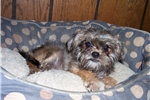 Picture of Really nice red Affenpinscher female