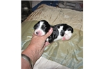 Picture of Trixie male pup