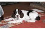 English Springer Spaniel for sale