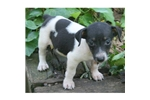 Picture of a Rat Terrier Puppy