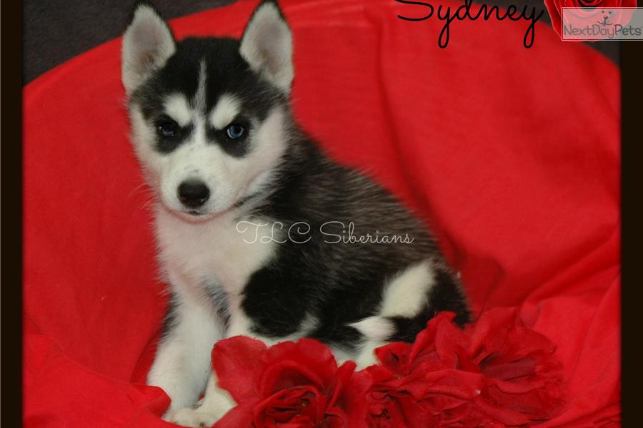 Free Download Siberian Husky Puppies For Sale Akc Pomsky HD Wallpaper